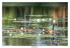 Geese Growing Up (Pearce Levrais Photography) Tags: wildlife nature geese goose gosling sony a7r3 hdr pond water lake lilipad plant flower lotus reflection outside outdoor summer summertime