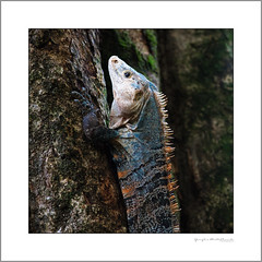 Iguana climbing a tree (G. Postlethwaite esq.) Tags: costarica manuelantonio nationalpark unlimitedphotos centralamerica iguana photoborder tree wildlife