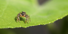 Jumping spider 19-07-2019 003 (swissnature3) Tags: nature macro animals spider switzerland invertebrates