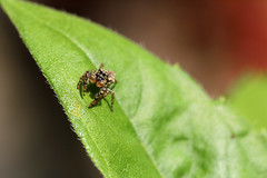 Jumping spider 19-07-2019 001 (swissnature3) Tags: nature macro animals spider switzerland invertebrates