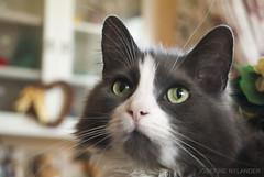 Totte ❤️ (josefinenylander) Tags: totte cat forest forestcat gray baby pets little boy eyes portrait indoor