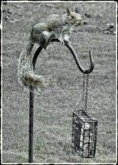 Guess Who Flew In?   Squirrelly Squirrel! (steveartist) Tags: squirrels birdfeeders suetfeeder feederpole feederhooks bokeh grass sonydscwx220 phototoaster photobystevefrenkel monochromaticimage