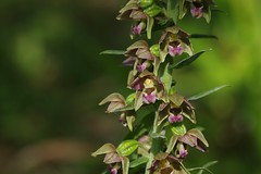 Faversham's Broad-leaved Helleborines - Epipactis helleborine (favmark1) Tags: kent faversham orchids kentorchids favershamorchids wildorchids britishorchids broadleavedhelleborines epipactishelleborine