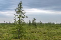 Borealis (Kevin Tataryn) Tags: tamarack bog alfred walk nature park preserve moss peat hiking nikon d500 tamron 70200 ontario canada trees