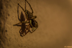 Small spider on the Wall (vrtour.gr) Tags: small spider wall macro photography greece europe