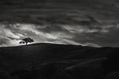 September Morning Oak (StefanB) Tags: california bw tree monochrome geotag treescape 2013 em5 45200mm morning clouds sanjose newalmaden