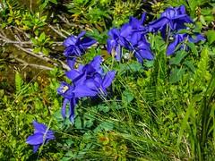 Cabane d'Eychelle (Ariège) (PierreG_09) Tags: ariège pyrénées pirineos couserans bethmale occitanie midipyrénées montagne eychelle cabane cabanedeychelle flor flore fleur plante ancolie
