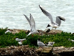 common Terns 19.7.19 (ericy202) Tags: common terns island water snettisham rspb reserve