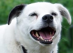 DSC06700 (Argstatter) Tags: mischlingsterrier hund bokeh tier weis schwarz dog lachen
