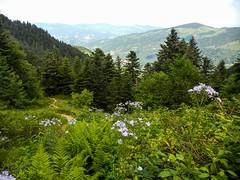 Cabane d'Eychelle (Ariège) (PierreG_09) Tags: ariège pyrénées pirineos couserans bethmale occitanie midipyrénées montagne eychelle cabane cabanedeychelle astéracée laiteronalpin laituevivace