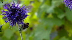 Bumblebee on a thistle flower (Cristi075) Tags: nature flower bumblebee bee plant closeup insect