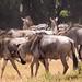 Wildebeest, Amboseli