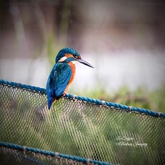 Gorgeous Male Kingfisher. (Albatross Imagery) Tags: nikonwildlifephotography wildanimals wildbirds feathers springwatch rspb gorgeous beautiful d500 nikond500 nikon flickrphotography flickrwildlife flickr instagram photographer photography photo naturephotography nature wildlifephotography wildlifephotographer wildlife birding bird birds kingfishers kingfisher