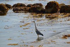 (Zak355) Tags: isleofbute rothesay bute scotland scottish heron wildlife birds
