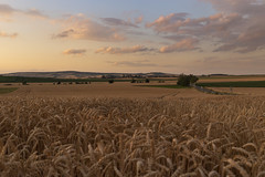 In the wheat #1 (verblickt) Tags: wheat farmland cropland agrarculture homeland evening clouds village loweraustria