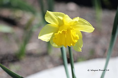 Daffodil (Narcissus pseudonarcissus) (Gerald (Wayne) Prout) Tags: daffodil narcissuspseudonarcissus plantae angiosperms monocots asparagales amaryllidaceae amaryllidoideae narcissus pseudonarcissus flower flowers wildlentlily garden wild plant plants gillieslakeconservationarea flowergarden cityoftimmins northeasternontario northernontario ontario canada prout geraldwayneprout canon canoneos60d eos 60d digital dslr camera canonlensef70300mmf456isusm lens ef70300mmf456isusm photographed photography gillieslake conservation area city timmins northeastern northern introduced