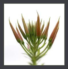 patterns in nature (blasjaz) Tags: blasjaz botanik patterns blütenstand blume pflanze plant