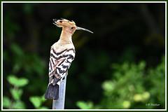 Huppe fasciée 190711-01-P (paul.vetter) Tags: oiseau ornithologie ornithology faune animal bird huppefasciée upupaepops eurasianhoopoe wiedehopf abubilla poupa