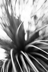 A Soft Explosion (Jeremy Beckman) Tags: blackandwhite ucrbotanicgarden riverside nature garden rays curves plant flow detail abstract