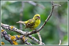 Serin cini 190712-01-P (paul.vetter) Tags: oiseau ornithologie ornithology faune animal bird serincini europeanserin serínverdecillo milheirinha girlitz serinusserinus