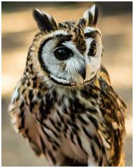 Striped Owl (Nicky Thomas Photography) Tags: nikon d750 fx flickrsbest flickr striped owl bird winged animal wild wildlife amateur photographer sherwood forest england united kingdom great britain uk nature
