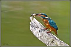 Martin-pêcheur  poisson 190703-10-P (paul.vetter) Tags: oiseau ornithologie ornithology faune animal bird martinpêcheur alcedoatthis eisvogel kingfisher