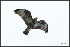 Buse variable 190712-01-P (paul.vetter) Tags: oiseau ornithologie ornithology faune animal bird rapace busevariable buteobuteo commonbuzzard maüsebussard