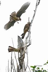 Faucons trio 190708-01-P (paul.vetter) Tags: crécerelle faucon rapace