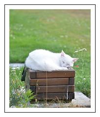 drole de fleur (Christ.Forest) Tags: chat cats felin potdefleur 150 600 dormir blanc bois herbe vert nikon white