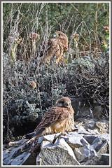 Faucons crécerelles paroi 190711-RV-P (paul.vetter) Tags: faucon falcotinnunculus turmfalke rapace oiseaux