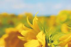 Because somehow (gusdiaz) Tags: nature naturephotography sunflower sunflowers colorful pastel pasteles colorido girasol girasoles naturaleza natural hermoso cloud clouds sky walk trek hike caminata sendero field fields campo flores flowers bokeh bokehlicious dof fuji fujifilm