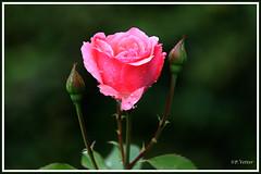 Rose 190715-01-P (paul.vetter) Tags: rose fleur