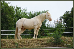 Cheval blanc 190712-01-P (paul.vetter) Tags: cheval mammifère