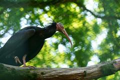 Geronticus eremita - Waldrapp (PictureBotanica) Tags: tiere vögel tierpark zoo essehof waldtrapp