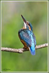 Martin-pêcheur 190702-38-P (paul.vetter) Tags: oiseau ornithologie ornithology faune animal bird martinpêcheur alcedoatthis eisvogel kingfisher