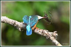 Martin-pêcheur  poisson 190703-05-Pjpg (paul.vetter) Tags: oiseau ornithologie ornithology faune animal bird martinpêcheur alcedoatthis eisvogel kingfisher