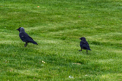 Glasgow Victoria Park - Photocredit Neil King-9 (Neilfatea) Tags: victoriapark glasgow summer park avians birds