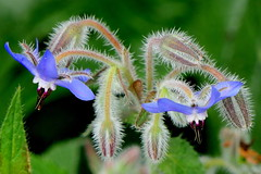 Borretsch . (Rollfuss46) Tags: natur blüten gewürz borretsch blau