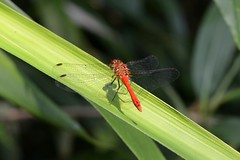 Sympetrum sanguineum (NebbiedelNord) Tags: libellula dragonfly nature natura boschi piante animali animals red sampetrum sanguineum sangue blood vola ali wings foglie leaves leaf