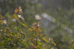 Heavy rain (lortopalt) Tags: regn rain spöregn oväder heavy hard stefan lortopalt nikon d850