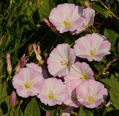 Field Bindweed (Severnrover) Tags: field bindweed flower plant weed pink white flora uk great britain macro photo photography