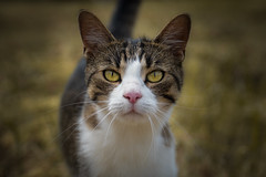 """Yellow eyes"" (Lisq2003) Tags: cat sony f4 lightroom 18105 gmaster a6400 apsc"
