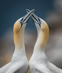 Gannet Love (Melissa M McCarthy) Tags: northerngannets gannet bird seabird animal nature outdoor wildlife wild courtship ritual mating nesting bill beak clicking knocking together love couple capestmarys newfoundland canada canon7dmarkii canon100400isii