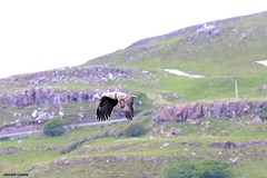 white tailed sea eagle J78A0625 (M0JRA) Tags: scotland isles mull sea water waves boats reflections land birds holidays vacations sky clouds sunset sun deer fields roads