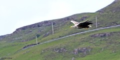 white tailed sea eagle J78A0626 (M0JRA) Tags: scotland isles mull sea water waves boats reflections land birds holidays vacations sky clouds sunset sun deer fields roads