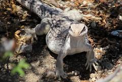 Desert critter (thomasgorman1) Tags: funny lizard desert iguana baja mexico reptile animal wildlife pose creature canon portrait candid