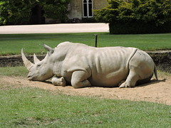 a white rino at the cotswold wildlife park (d318tys) Tags: white rino wildlife cotswold