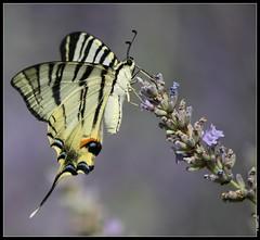 Flambe (boblecram) Tags: iphiclidespodalirius flambepapillon butterfly mariposa insecte