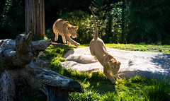 The Chase (larry fa) Tags: lion female cincinnati zoo nikon d800 zeiss 135mm young action