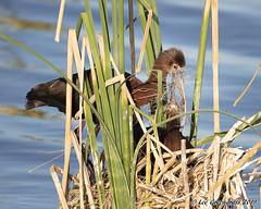 Choice Nesting Material (pandatub) Tags: bird bids ibis whitefacedibis woodland nest